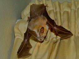 Image of Cape Long-eared Bat