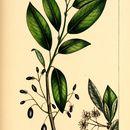 Image of <i>Cerasus mollis</i>