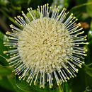 Image of common buttonbush