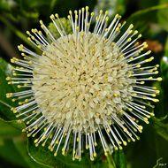 Image of common buttonbush