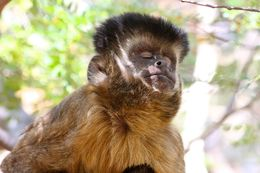 Image of Bearded Capuchin