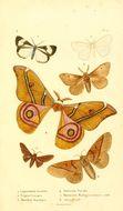 Image of Leptosoma Stafford 1904