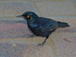 Image of Pale-winged Starling