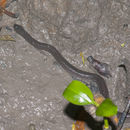 Image of Crab-eating Water Snake
