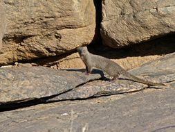 Image of Cape grey mongoose