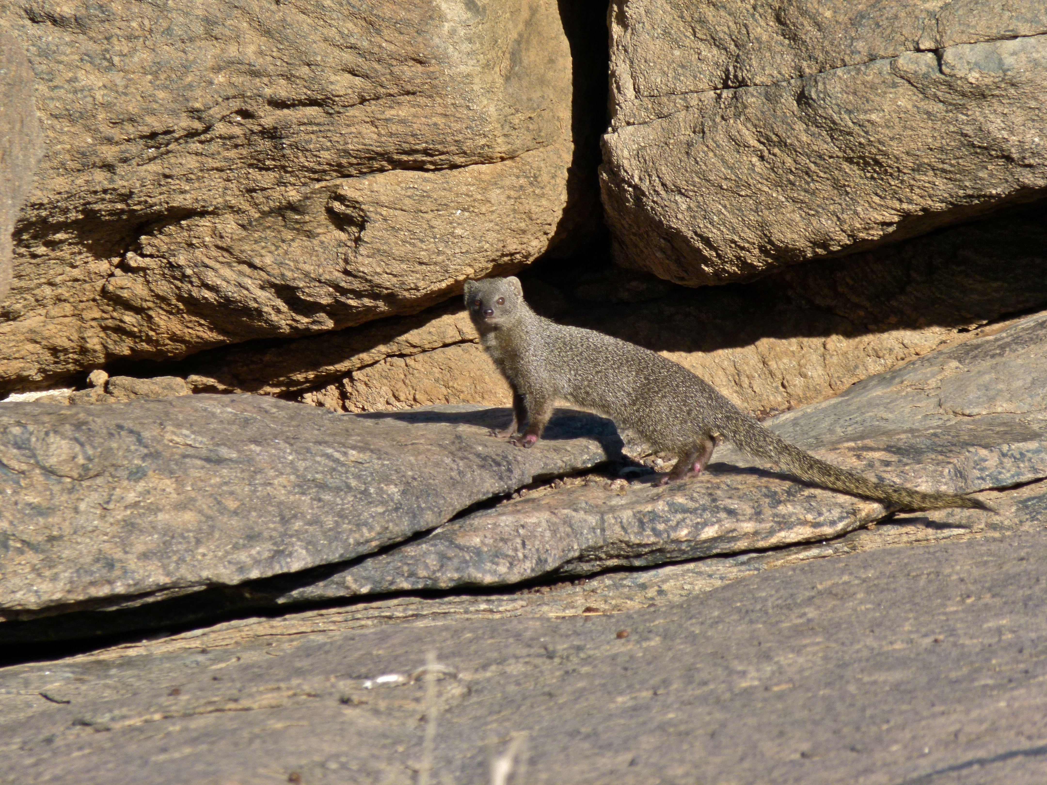 Image of Cape Gray Mongoose