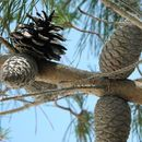 Image of sand pine