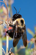 Image of Eastern Carpenter Bee