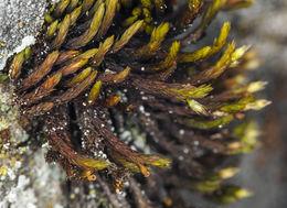 Image of Bolander's orthotrichum moss