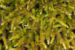 Image of California antitrichia moss