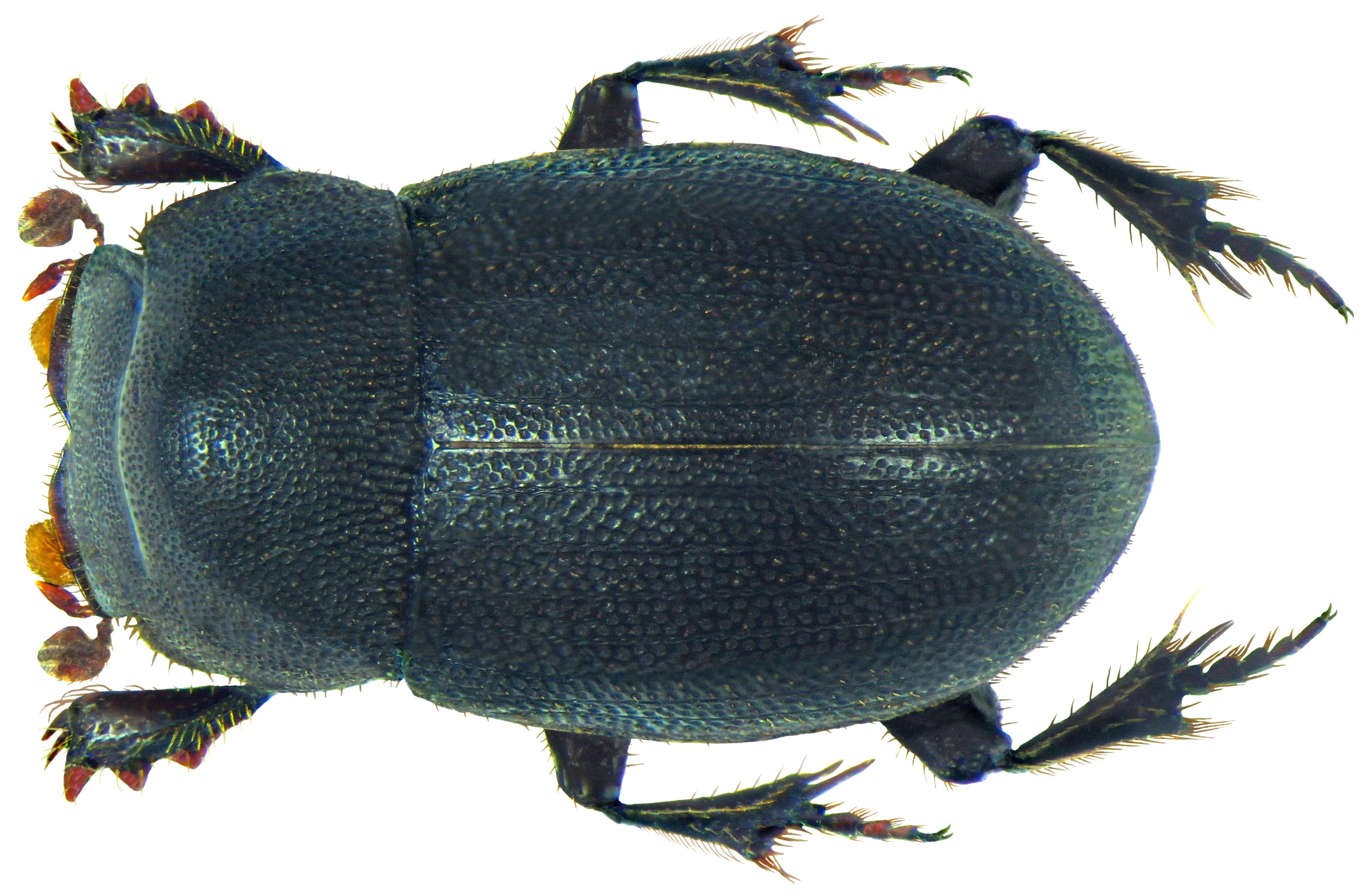 Image of <i>Pedaria nigra</i> Laporte 1832