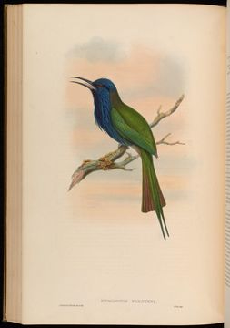 Image of Purple-bearded Bee-eater