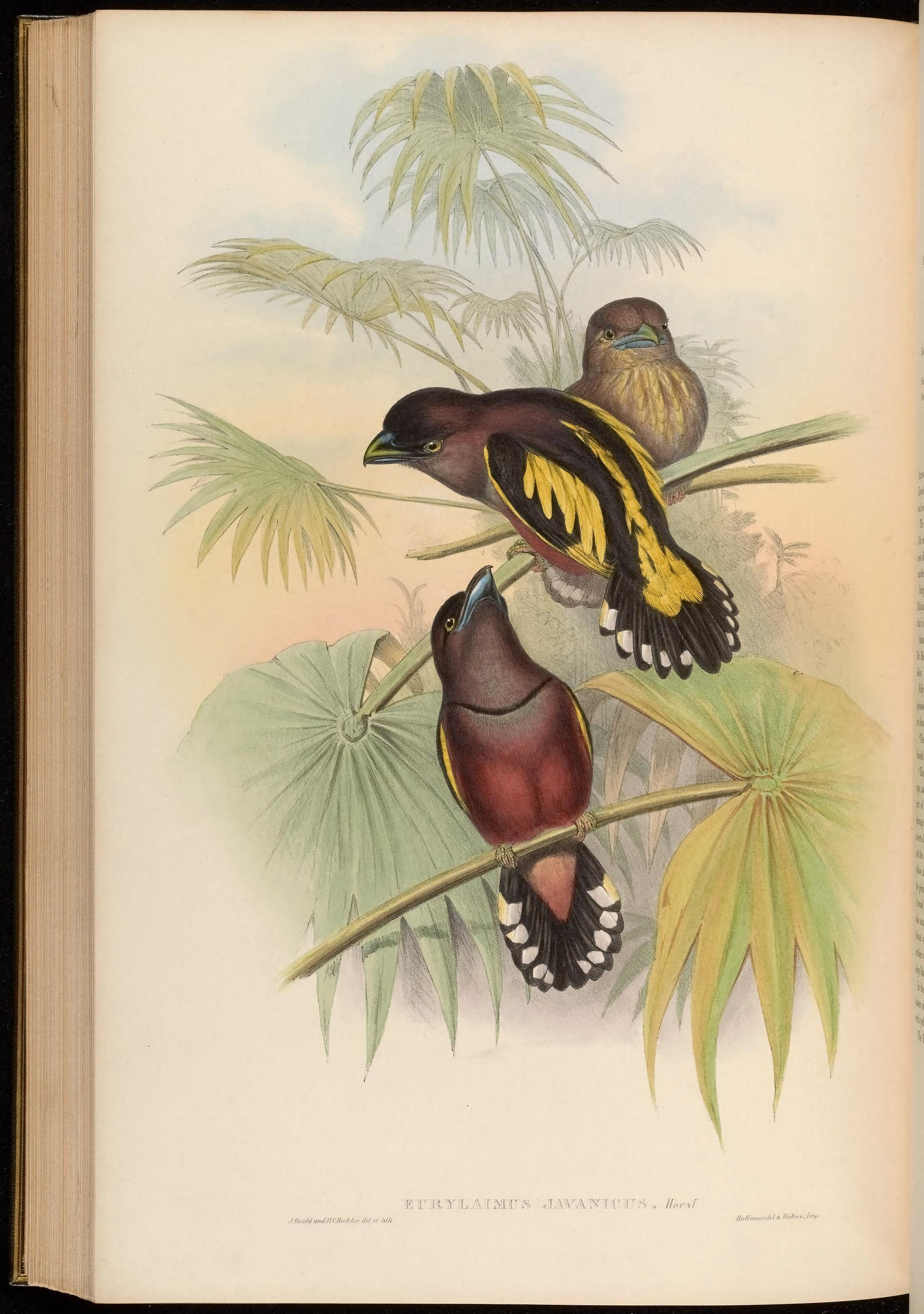 Image of Banded Broadbill