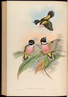 Image of Black-and-yellow Broadbill