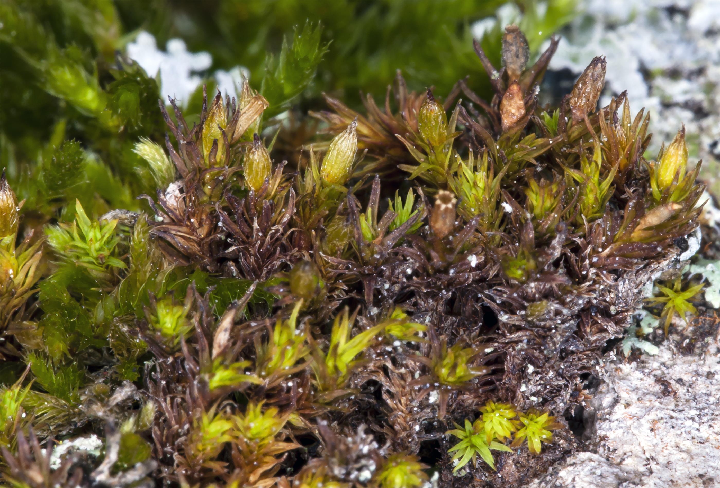 Image of <i>Orthotrichum norrisii</i> F. Lara, R. Medina & Garilleti