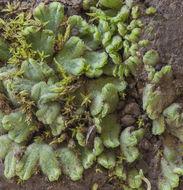Image of <i>Riccia beyrichiana</i> Hampe