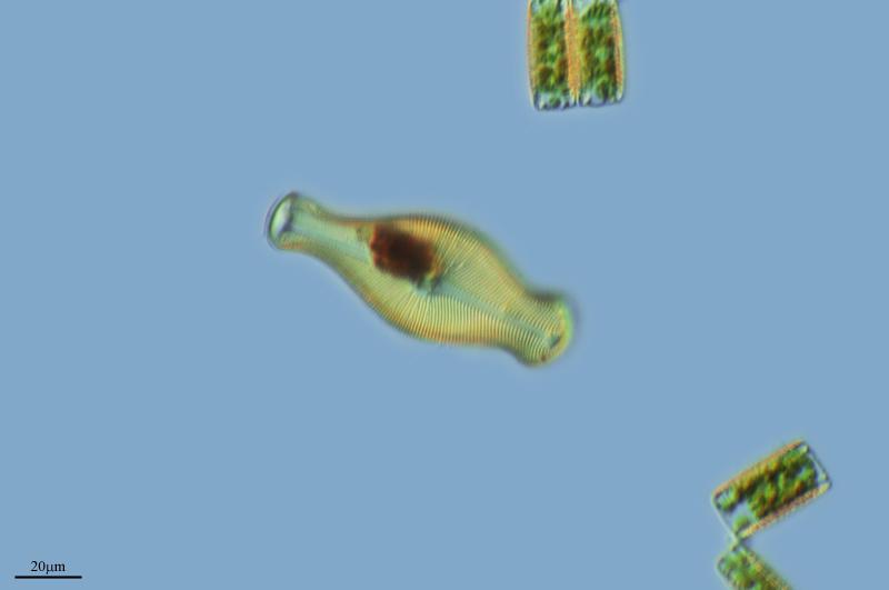 Image of <i>Gomphonema gemiinatum</i>