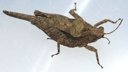 Image of Obscure Pygmy Grasshopper