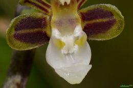 Image of <i>Cleisostoma subulatum</i> Blume