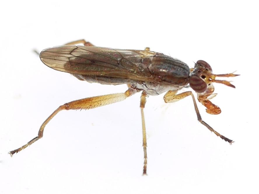 Image of <i>Sepedon gracilicornis</i> Orth 1986