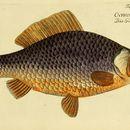 Image of Gibel carp