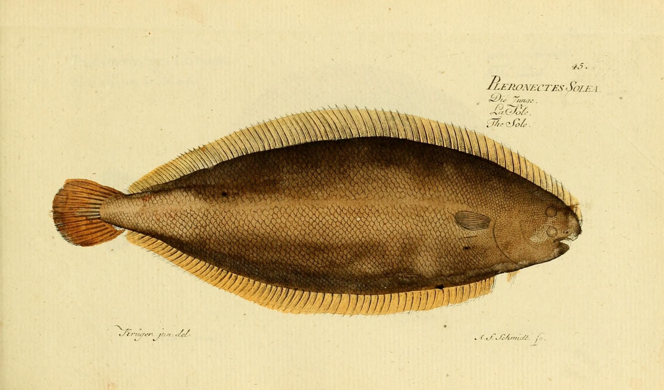 Image of sole
