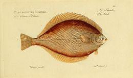Image of <i>Limanda limanda</i> (Linnaeus 1758)