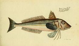 Image of <i>Eutrigla gunardus</i>