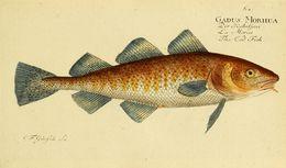 Image of Atlantic cod