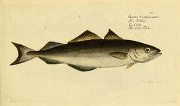 Image of coalfish