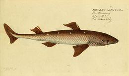Image of Cape Shark
