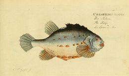 Image of <i>Cyclopterus lumpus</i> Linnaeus 1758