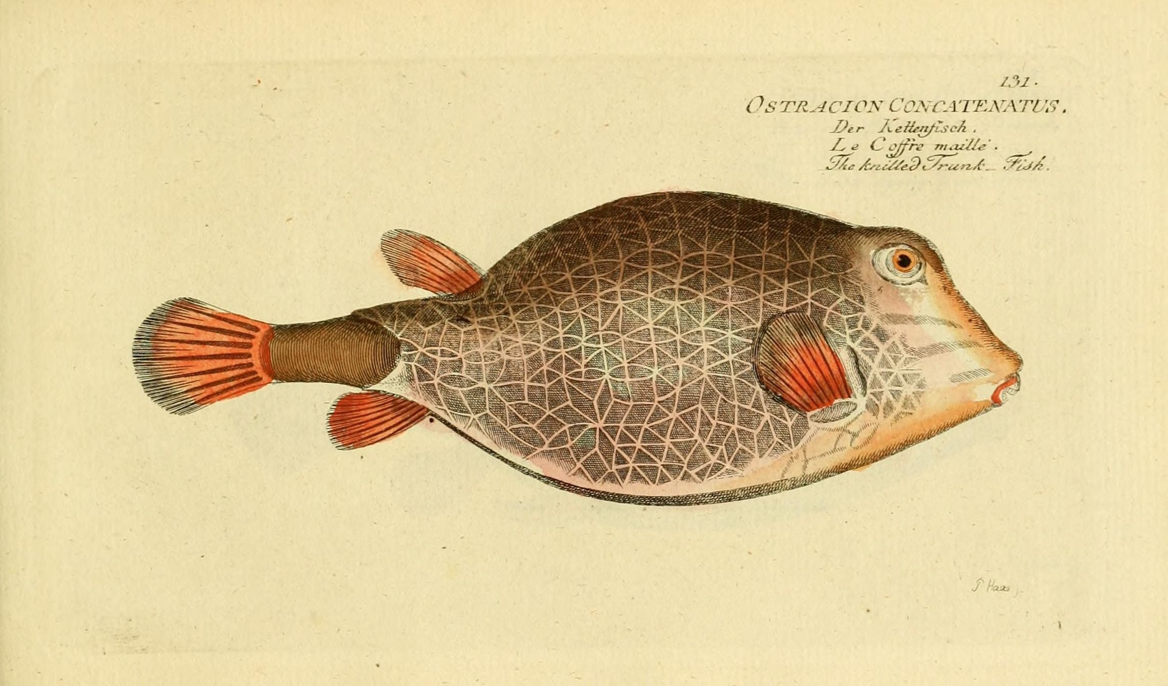 Image of Triangular boxfish