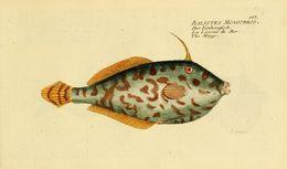 Image of Batfish