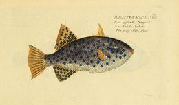 Image of <i>Canthidermis maculata</i> (Bloch 1786)