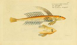 Image of <i>Callionymus lyra</i> Linnaeus 1758