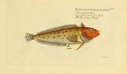 Image of Super Klipfish