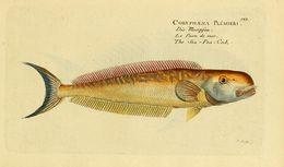 Image of sand tilefish