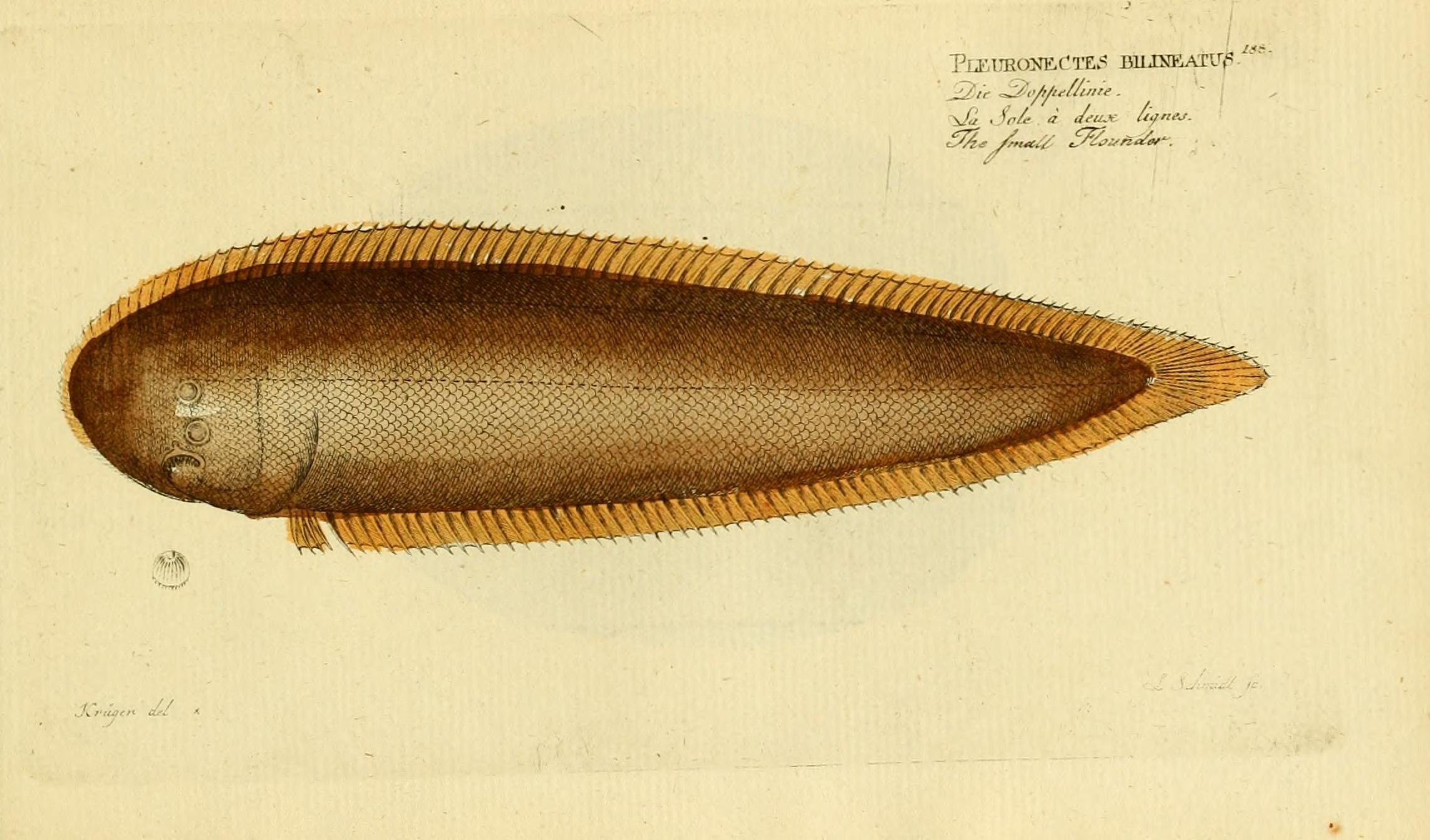 Image of Double-lined tongue sole
