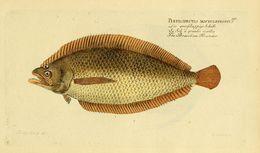 Image of <i>Citharus linguatula</i> (Linnaeus 1758)