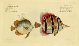 Image of orbfish