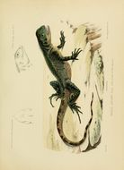Image of <i>Enyalioides laticeps</i> (Guichenot 1855)