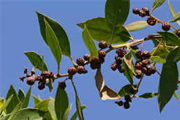 Image of button mangrove