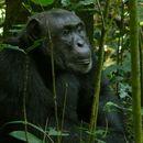 Image of Eastern Chimpanzee