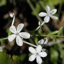 Image of wild leadwort