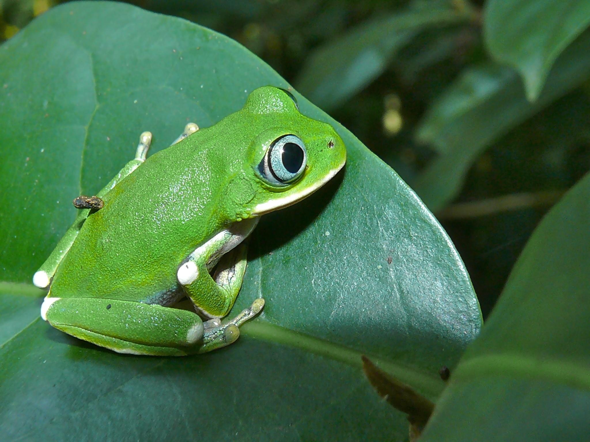 Image of Kivu tree frog