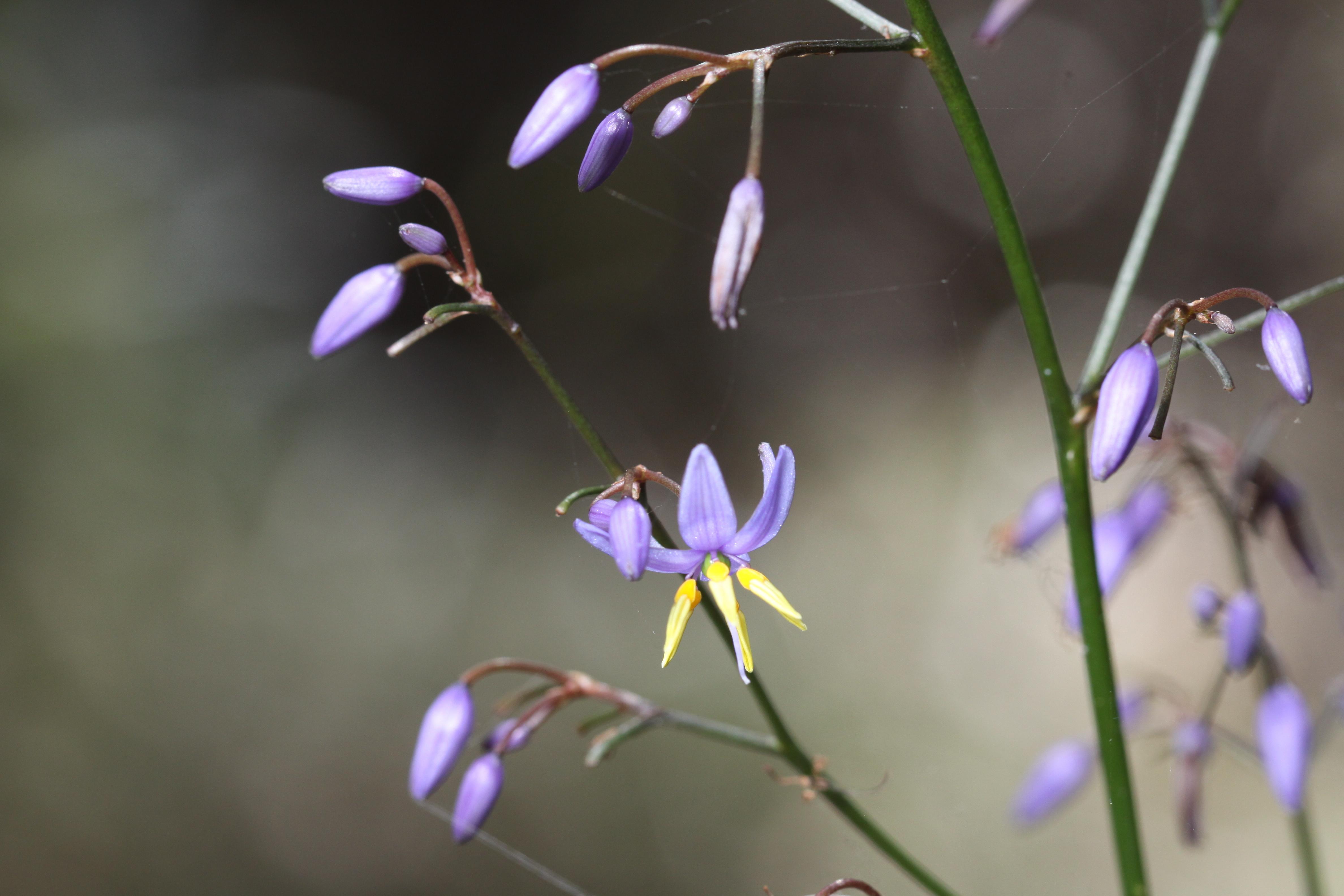 Image of <i>Dianella longifolia</i> R. Br.