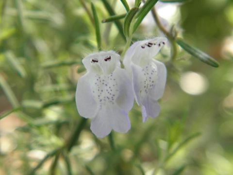 Image of false rosemary