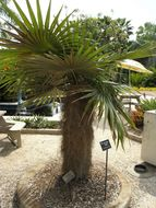 Image of Old man palm