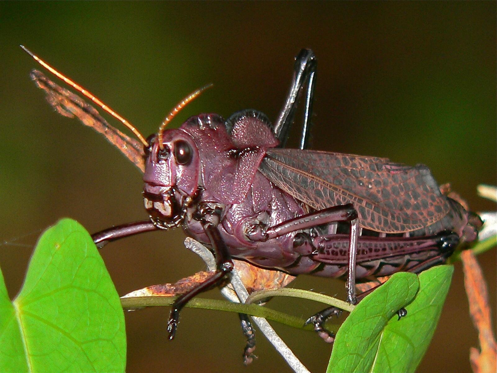 Image of lubber grasshopper
